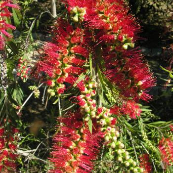 Callistemon viminalis 'Little_John'