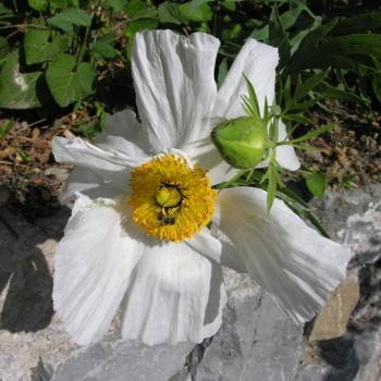 Romneja coulteri
