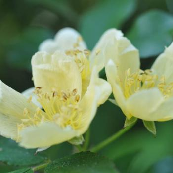 Rosa banksiae f.lutescens